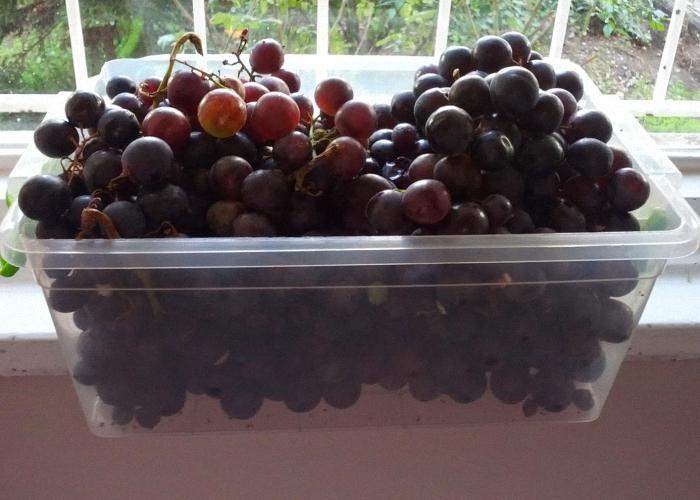Спелый виноград для вина
