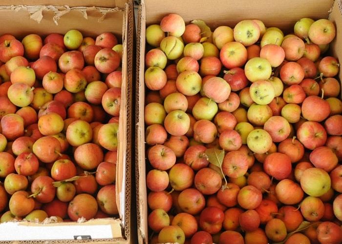 Для браги выбрать спелые яблоки