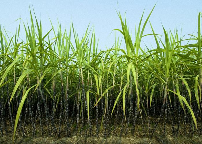 Сахарный тростник для изготовления рома