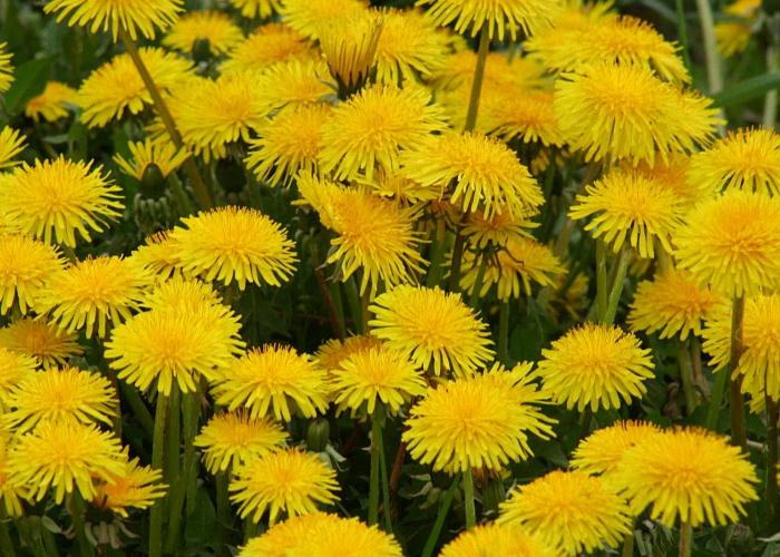 Собрать цветки одуванчика