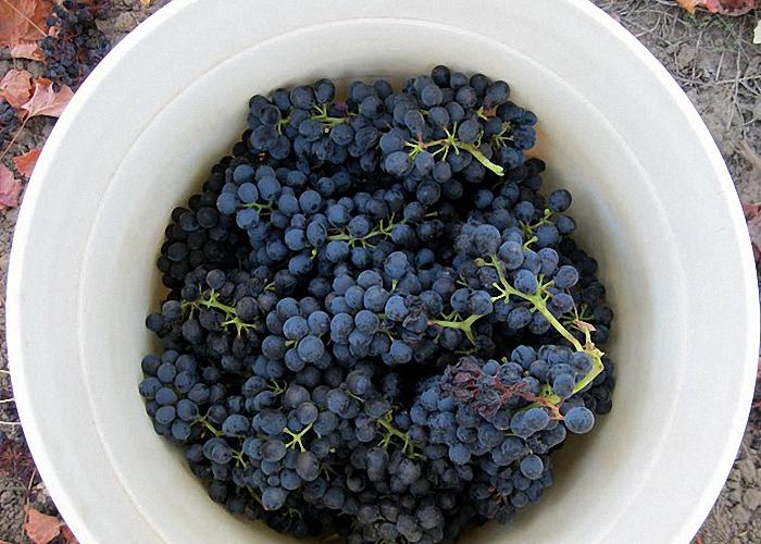 Виноград для чачи выбрать спелый без гнили