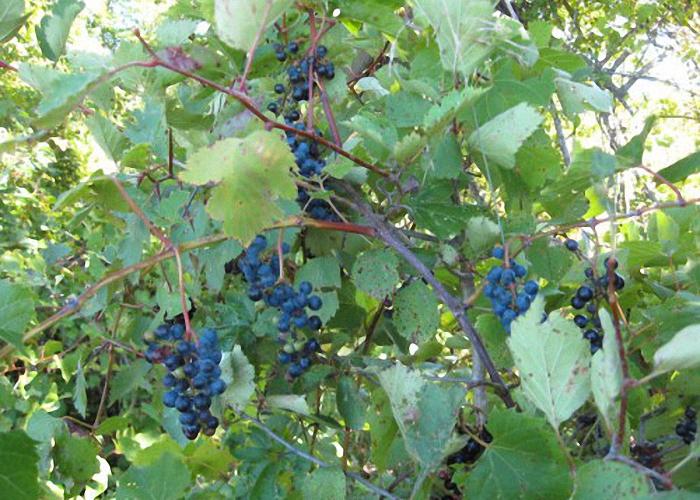 Для чачи исползуется недозрелый виноград