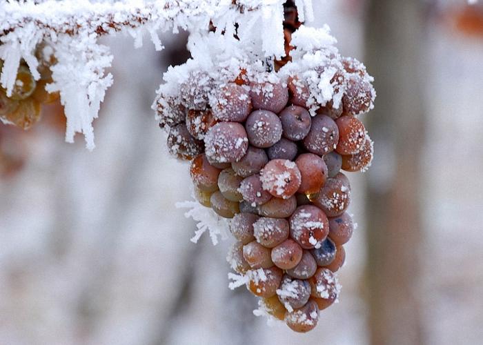 Промороженный виноград будет лучше бродить