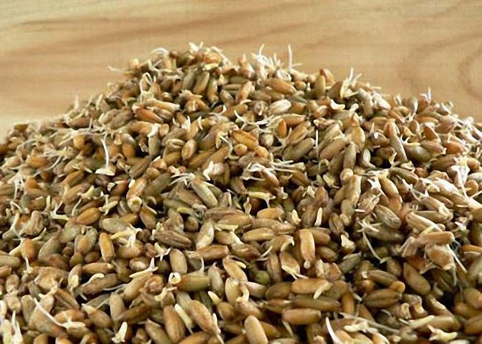 Ржаное зерно прорастить